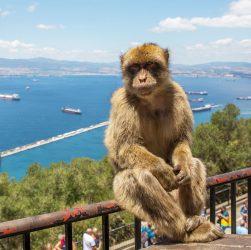 Maimuta din Gibraltar